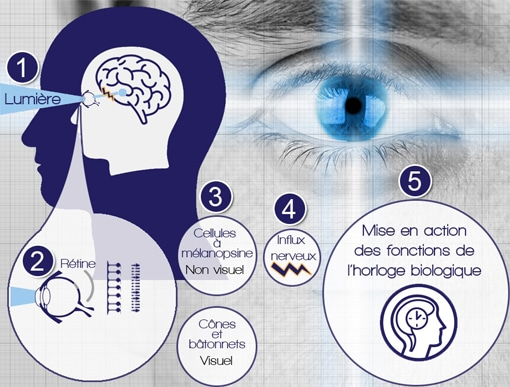 Circuit de la lumière de l'oeil à l'horloge biologique
